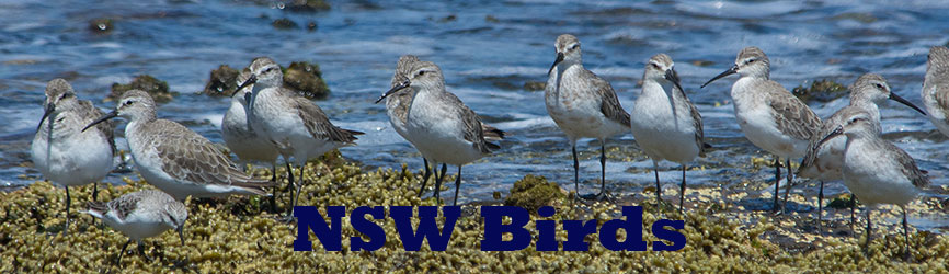 Birds NSW