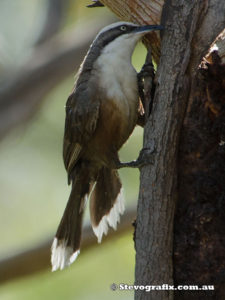 grey-crowned-babbler-37886