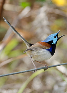 variegated-fairy-wren-23814